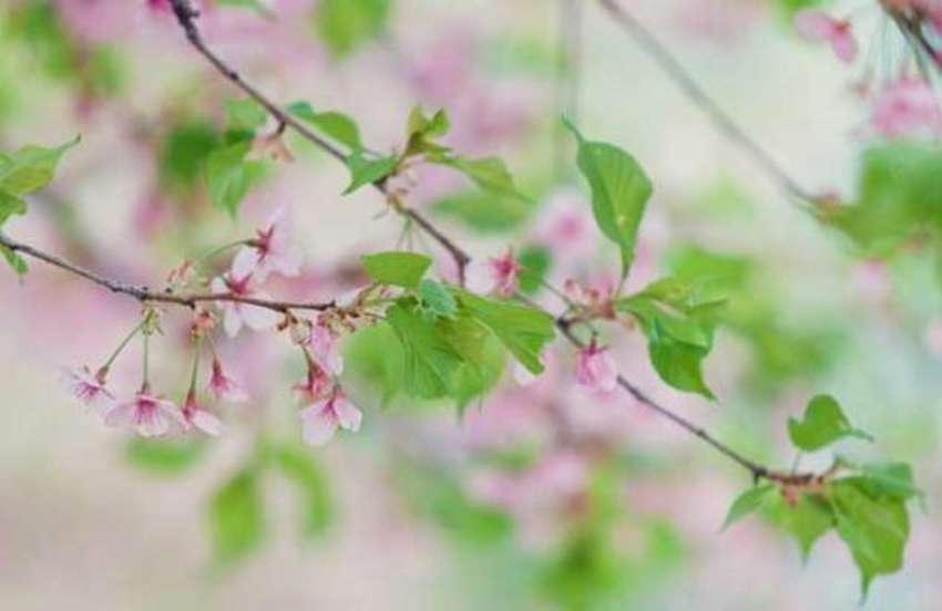 цветы сакуры из бумаги шаблон